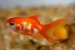 常见的宠物鱼用药误区
